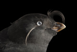 A Crested Auklet, Aethia Cristatella, at the Cincinnati Zoo Papier Photo par Joel Sartore