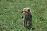 A Cheetah Cub Looking Around Photographic Print by Tom Murphy