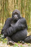 Portrait of a Mountain Gorilla, Gorilla Gorilla Beringei Photographic Print by Tom Murphy