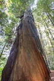 A Low-Angle View of a Giant Redwood Tree Photographic Print by Macduff Everton
