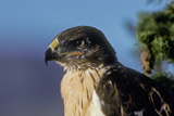 Portrait of a Young Ferruginous Hawk Photographic Print by Tom Murphy