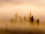 Lodgepole Pine Trees Shrouded by Mist Photographic Print by Tom Murphy