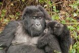 Portrait of a Female Mountain Gorilla and Her Baby, Gorilla Gorilla Beringei Photographic Print by Tom Murphy