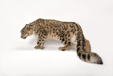 An Endangered Snow Leopard, Uncia Uncia, at the Miller Park Zoo Photographic Print by Joel Sartore