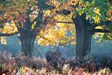 A Red Deer Stag, Cervus Elaphus, Stands under a Colorful Oak in Richmond Park Photographic Print by Alex Saberi
