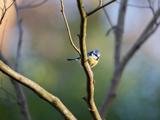 A Blue Tit Rests on a Branch in Richmond Park Stampa fotografica di Alex Saberi