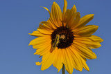 A Two-Striped Grasshopper on a Plains Sunflower Fotografie-Druck von Michael Forsberg