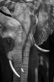 A Close Up Portrait of Two African Elephants, Loxodonta Africana, and a Calf Fotografisk tryk af Sergio Pitamitz