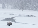 A Bison Forages Near a Stream During a Snow Storm Fotografisk tryk af Tom Murphy