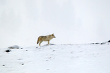 A Gray Wolf, Canis Lupus, Pauses Along a Snowy Ridgeline Photographic Print by Robbie George