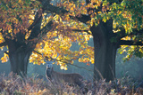 A Red Deer Stag Stands under a Colorful Oak in Richmond Park Photographic Print by Alex Saberi