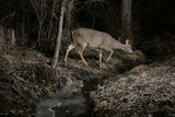A White-Tailed Deer, Odocoileus Virginianus, at an Icy Stream, Caught by Camera Trap at Night Photographic Print by Michael Forsberg