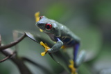 Portrait of a Red-Eyed Tree Frog at the Miami Metro Zoo Photographic Print by Raul Touzon