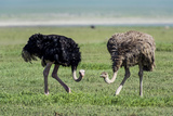 A Male and Female Ostrich Feeding on the Short Grass Savannah Plain on a Volcano Caldera Floor Photographic Print by Jason Edwards