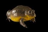 African Bullfrog, Pyxicephalus Adspersus, at the Omaha Zoo Photographic Print by Joel Sartore