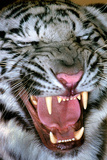Close Up Portrait of a White Tiger, Panthera Tigris Tigris, Snarling Photographic Print by Thomas Nebbia