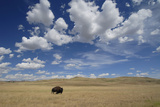 An American Bison, Bison Bison, in a Landscape of Rolling Hills and Puffy Clouds Photographic Print by Michael Forsberg