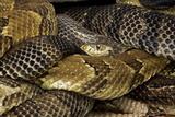 A Common Garter Snake Among Basking Gravid Timber Rattlesnakes, Crotalus Horridus Horridus Photographic Print by John Cancalosi