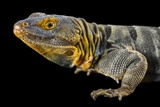 A Baja Blue Rock Lizard, Petrosaurus Thalassinus, at the Indianapolis Zoo Photographic Print by Joel Sartore