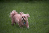 A Pink Dyed Shih Tzu Running Through the Grass Photographic Print by Joel Sartore