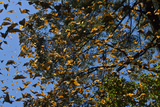 Monarch Butterflies Fly Up in a 'Burst' in the Oyamel Fir Forests of El Rosario, Michoacan, Mexico Photographic Print by Medford Taylor