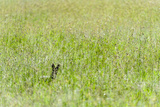 An Alert Black-Backed Jackal Pokes Up Above Seeding Grasses While Hunting on a Savannah Plain Photographic Print by Jason Edwards