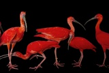 A Flock of Scarlet Ibis, Eudocimus Ruber, at the Caldwell Zoo Papier Photo par Joel Sartore