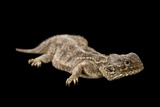A Beaver-Tailed Agama, Xenagama Batilifera, at the Living Desert in Palm Desert, California Photographic Print by Joel Sartore