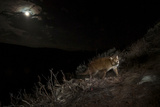 A Camera Trap Captures a Cougar under a Full Moon in Wyoming's Bridger Teton National Forest Photographic Print by Steve Winter