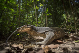 A Monitor Lizard, Varanus Palawanensis, Flicks its Forked Tongue Photographic Print by Robin Moore
