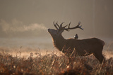 A Large Red Stag with a Jackdaw in the Early Morning Mists of Richmond Park Fotografisk tryk af Alex Saberi