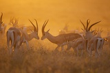 A Mixed Herd of Male and Female Grant's Gazelles on the Serengeti Plains Photographic Print by Michael Nichols