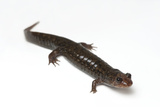 Dwarf Black-Bellied Salamander, Desmognathus Folkertsi, from Zoo Atlanta Photographic Print by Joel Sartore