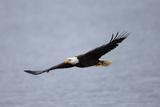 A Bald Eagle, Haliaeetus Leucocephalus, in Flight over Water Fotodruck von Robbie George