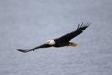 A Bald Eagle, Haliaeetus Leucocephalus, in Flight over Water Fotografiskt tryck av Robbie George