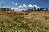 Monarch Butterflies Drink from a Stream in the Sierra Chincua Monarch Sanctuary, Mexico Photographic Print by Medford Taylor