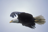 A Bald Eagle in Flight Fotografiskt tryck av Tom Murphy