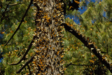 A Colony of Monarch Butterflies in Monarch Sanctuary, Michoacan, Mexico on an Oyamel Fir Tree Photographic Print by Medford Taylor