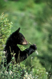 The American Black Bear Cub, Ursus Americanus, Sniffing Wildflowers Photographic Print by Tom Murphy