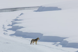 A Coyote, Canis Latrans, Walking on the Ice of the Yellowstone River Photographic Print by Tom Murphy