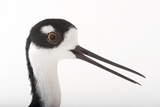 A Black-Necked Stilt, Himantopus Mexicanus, at the Miller Park Zoo Photographic Print by Joel Sartore