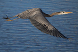 A Great Blue Heron, Ardea Herodias, in Flight over the Occoquan River Photographic Print by Kent Kobersteen