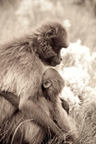 Mother and Child Gelada Baboons, Theropithecus Gelada, on the Guassa Plateau of Ethiopia Photographic Print by Robin Moore