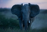 An African Elephant Matriarch Charges Photographic Print by Michael Nichols