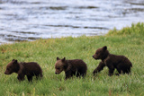 Three Grizzly Bear Cubs, Ursus Arctos, Walking in a Line Alongside a River Photographic Print by Robbie George