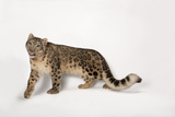 An Endangered Snow Leopard, Panthera Uncia, at the Miller Park Zoo Photographic Print by Joel Sartore