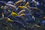 Rift Lake Cichlid Fish Fotografisk tryk af Kike Calvo