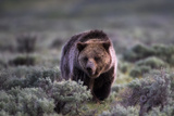 Portrait of a Grizzly Bear, Ursus Arctos, Walking Through Brush Photographic Print by Robbie George