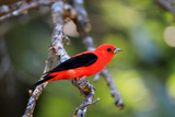 Portrait of a Scarlet Tanager, Piranga Olivacea, Perched on a Tree Branch Photographic Print by Robbie George