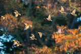A Flock of Common Starlings, Sturnus Vulgaris, in Sunset Flight with Autumn Colored Trees Photographic Print by Alex Saberi